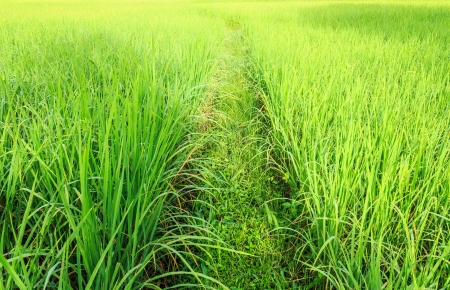 exporter: Asian landscape, rice fields from Thailand, Thailand is a major exporter in the world rice market Stock Photo