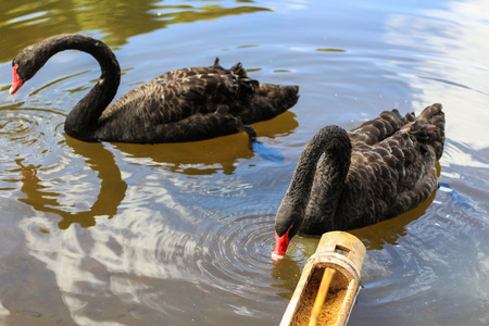 float tube: Two black swans float in the lake and eat feed in bamboo tube Stock Photo
