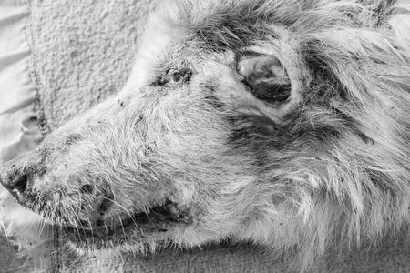 large dog: Stray dog has large wound on head