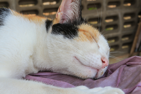 calico whiskers: Beautiful Calico cat is sleeping Stock Photo