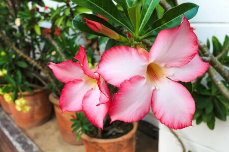 impala lily: Pink Desert Rose or Impala Lily flower blooming in the garden