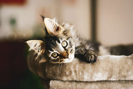 Portrait of an adorable furry kitten, lovingly relaxing at home in the warmth on his pillow. Stockfoto