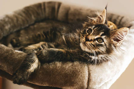 Portrait of an adorable furry kitten, lovingly relaxing at home in the warmth on his pillow.