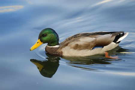 Male duck photo