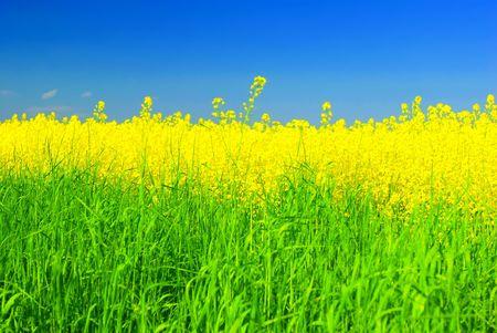 Fresh green grass, golden rape and blue summer sky