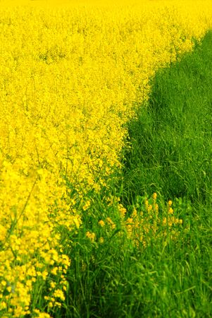 Green grass and golden rape Stock Photo