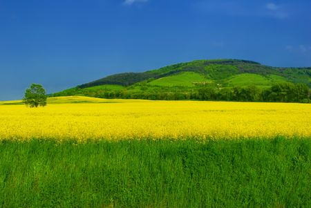 Idyllic landscape with green grass and golden rape