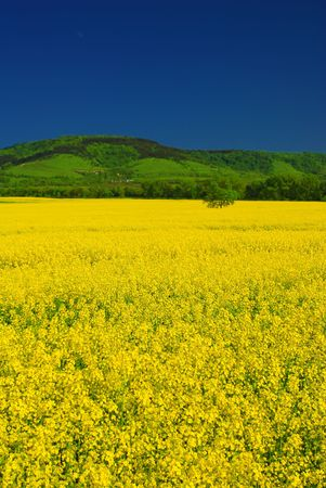 Vivid yellow rape field, deep blue summer sky, green hill. Vertical picture Stock Photo
