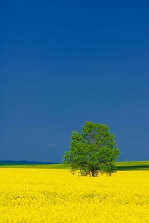 Alone standing green tree, vivid yellow rape field, deep blue sky