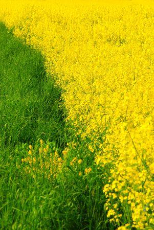 Fresh green grass and vivid yellow rape