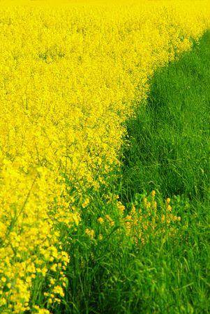 Green grass and golden rape Stock Photo