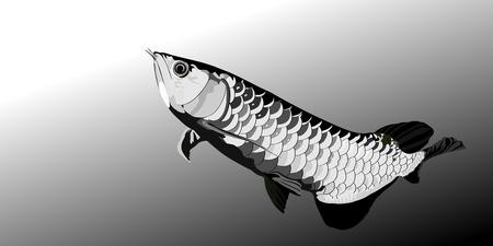 arowana: Arowana fish black and white vector illustrator.sacred fish