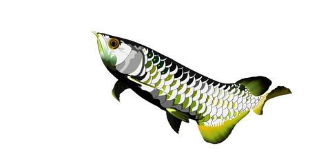 arowana: Arowana fish on white background vector illustrator.sacred fish