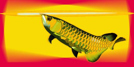 arowana: Arowana fish colorful vector illustrator.sacred fish
