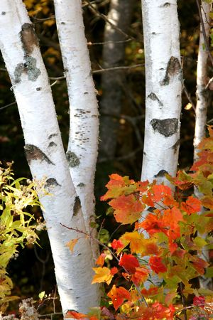 Trunks of birch trees in the autumn forest with bright maple leaves in the foreground.