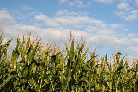 Tassels of field corn against the summer sky. Foto de archivo