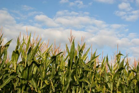 Tassels of field corn against the summer sky. Stock Photo