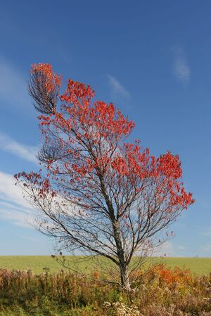 The vibrant fall foliage of a wild pin or choke cherry on the edge of a farmers field. photo