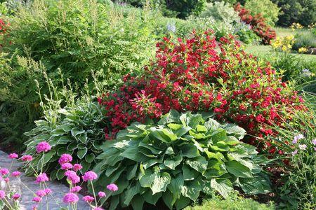 hostas: Cold hardy plants, weigelia and hostas in a northern flower garden.