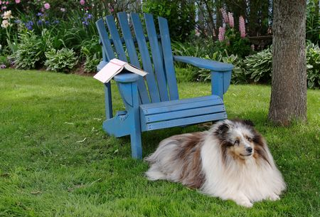 adirondack chair: Loyal Shetland Sheepdog laying beside a wooden chair in the backyard.