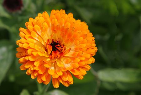 A bright golden orange calendula or sometimes know as a marsh marigold.