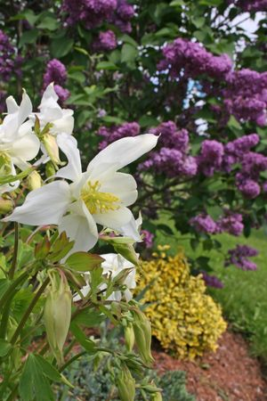 spurred: White columbine with the garden and a purple flowering lilac in the background. Stock Photo