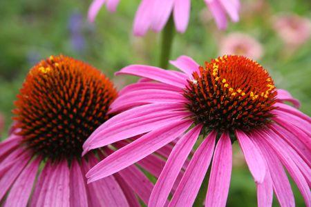 Healthy Echinecea in the garden.
