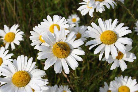 campo de margaritas: Campo margaritas y los insectos.  Foto de archivo