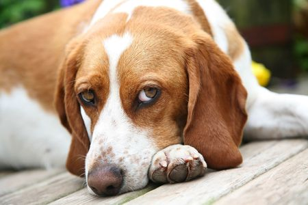 A beagle deep in thought. Stock Photo - 3319829