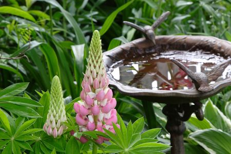 Pink lupins in the garden with a birdbath in soft focus in the background.