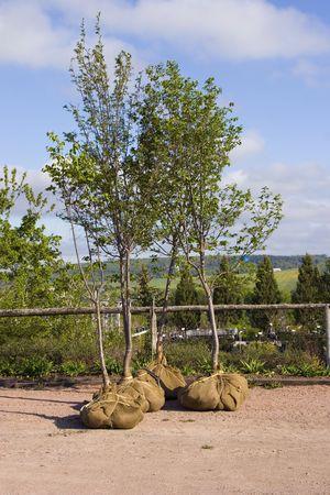 plantando un arbol: �rboles cuyos sistemas de ra�ces se hacen con arpillera en una guarder�a o centro de jardiner�a.