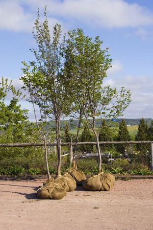 planting a tree: Trees whose root systems are done up with burlap at a nursery or garden center. Stock Photo