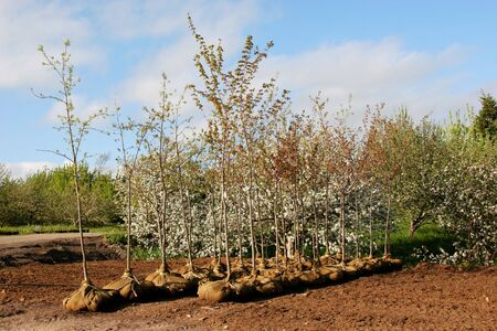 transplanting: Trees whose root systems are done up with burlap at a nursery or garden center. Stock Photo
