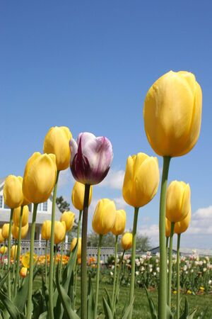 variegated: Alone in the Crowd, variegated purple tulip amongst a crowd of yellow tulips.