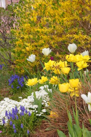shurb: Various flowering bulbs, perennials and shrubs in the spring garden.