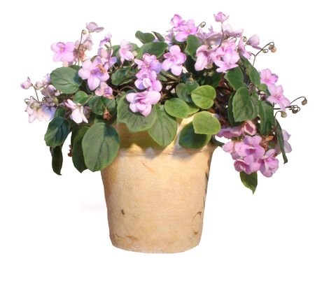 trailing: Trailing pink African Violet Stock Photo