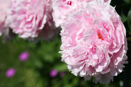 A lush pink peony blossom in the perennial garden. photo