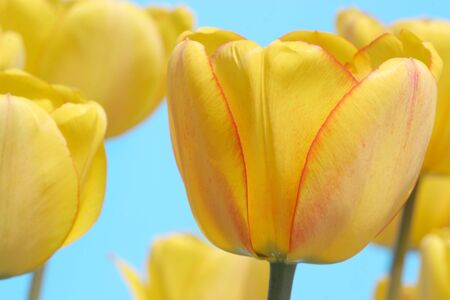 Beautiful yellow garden tulips against a blue background. photo