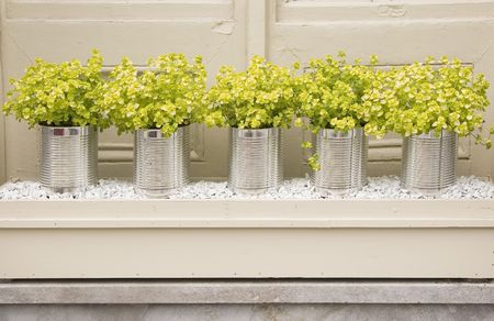 A row of yellow colored herbs potted up in tin cans.