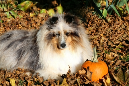A shetland sheepdog laying in the fallen leaves. Stock Photo
