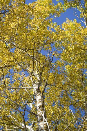 Sunlight shining through the leaves of aspen trees.