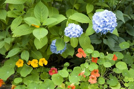 A home garden flower bed containing nasturtiums and hydrangeas.