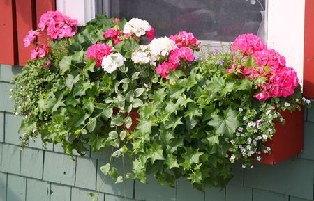 A wooden window box filled with pink and white geraniums, german ivy and vinca. Stock Photo
