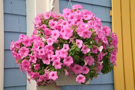hanging basket: An outside basket filled with vibrant pink petunias.