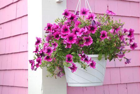 Purple petunia hanging basket against a pink building.