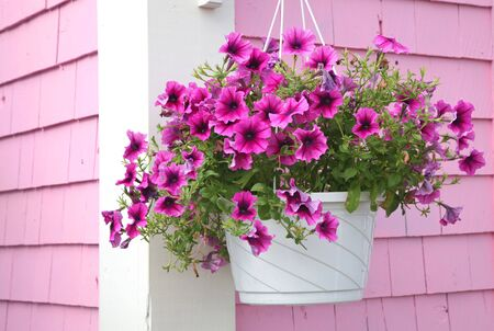 hanging flowers: Purple petunia hanging basket against a pink building.