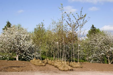Deciduous trees whose root systems are balled and burlaped and ready for sale at a local tree nursery.