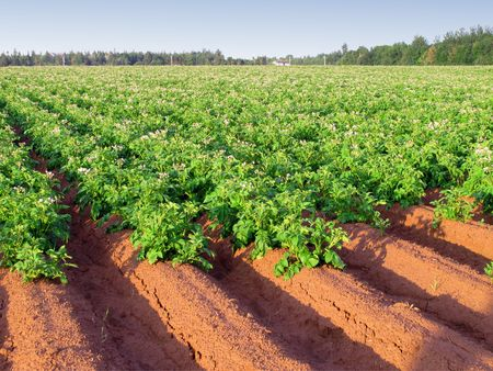 An early morning view of a potato farm in rural Prince Edward Island, Canada with rows of potatos in full flower.                               Stock Photo