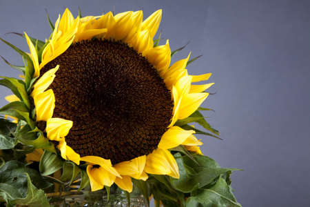 A single large sunflower in a studio setting.