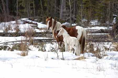 Wild horses, a pinto mare and a white foal in the wilderness of northern Alberta, Canada. Stock Photo